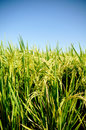 Paddy Field Royalty Free Stock Photos - 13563088
