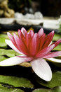 Water Lily In A Pond Royalty Free Stock Photos - 13569028