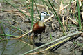 African Jacana Stock Photos - 1365663