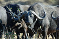 African Buffalo Royalty Free Stock Photography - 1365667