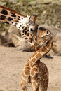 Mother Giraffe Cuddling With Its Baby Stock Image - 13610131