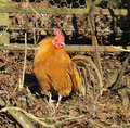 Domestic Chicken Cockerel Stock Images - 13656364