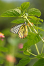 Butterfly (painted Jezebel) Stock Photos - 13657053