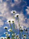 Daisies In The Garden Royalty Free Stock Images - 13658169