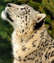 Leopard Snow Stock Photography - 13677702