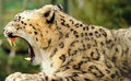 Leopard Snow Royalty Free Stock Image - 13677776