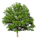 Oak Tree Royalty Free Stock Image - 13699496