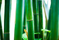 Bamboo Forest Royalty Free Stock Photo - 13699665