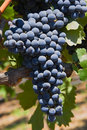 Red Grapes On The Vine Royalty Free Stock Photo - 1374165