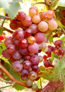 Red Grapes Royalty Free Stock Image - 1378816