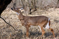 White-tail Deer Young Buck Stock Photo - 13707960