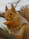 Red Squirrel Stock Photography - 13720782