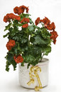 Begonia Plant In Flower (Begoña) Royalty Free Stock Photography - 13736147