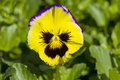Yellow Pansy Flower Royalty Free Stock Photo - 13739875
