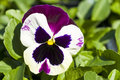 Pansy Flower Stock Image - 13739901
