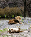 Lioness Rolling For Lion Royalty Free Stock Photo - 13740845