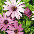 Wild Daisies Royalty Free Stock Photography - 13748587