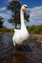 Mute Swan In A Lake Stock Photos - 13760293
