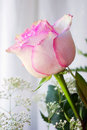 Pink Rose Stock Image - 13764081