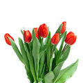 Close-up Red Tulips Isolated Royalty Free Stock Photography - 13767077