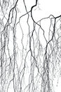 Birch Branches Royalty Free Stock Photography - 13768387