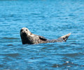 Sea Lion Royalty Free Stock Images - 13772089