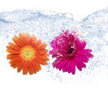 Two Coloured Daisies Royalty Free Stock Image - 13775836