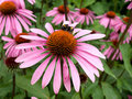 Cone Flower Stock Images - 13778714