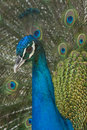 Peacock Royalty Free Stock Images - 13792649