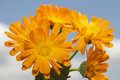 Calendula Officinalis Stock Photo - 13796620
