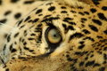 The Leopard Stares Royalty Free Stock Images - 13803389