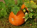 Pumpkin Patch Stock Images - 13804374