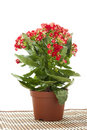 Kalanchoe   In Pot On White Background Stock Image - 13811591