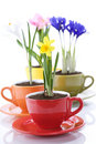 Growing Spring Flowers In A Cup Stock Photo - 13815110