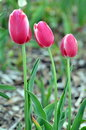 Tulips Royalty Free Stock Photography - 13823127