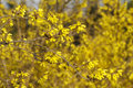 Forsythia Stock Photos - 13834373
