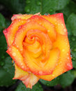 Pink, Yellow And Red Rose Macro With Rain Drops Royalty Free Stock Photo - 13836325