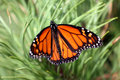 Monarch Butterfly Royalty Free Stock Photos - 13853808