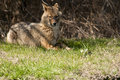Golden Jackal Stock Images - 13860464