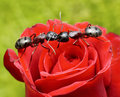 Ants Kiss On Rose Royalty Free Stock Image - 13862736