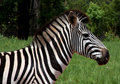 Zebra Stock Photo - 13863170