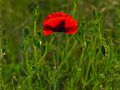 Poppy. Shallow Dof. Stock Photos - 13875303