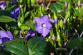 Periwinkle Flower Royalty Free Stock Photo - 13875815