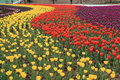 Tulips Field Panorama Royalty Free Stock Images - 13875999