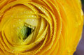 Yellow Persian Buttercup Flower Ranunculus Asiatic Stock Images - 13893584