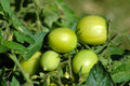 Green Tomatoes Royalty Free Stock Image - 1394046