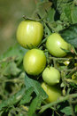 Green Tomatoes Royalty Free Stock Image - 1394056