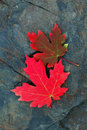 Red Maple Leaves Royalty Free Stock Photos - 1397088