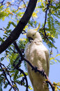 Shy Cockatoo Royalty Free Stock Images - 13900629