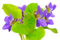 Violets On White Background Royalty Free Stock Photos - 13901848
